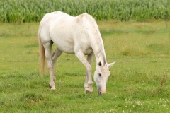 wit-paard1