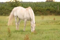 wit-paard
