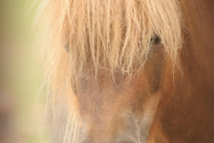 bruin-paard-close-up-2